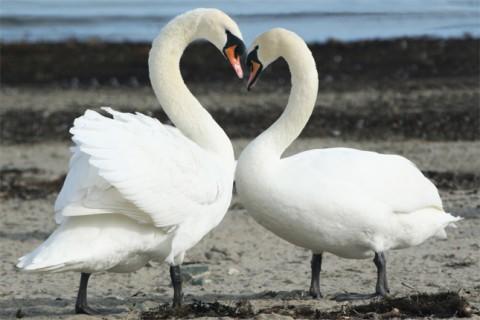 pareja de cisnes blancos