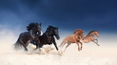 manada de caballos galopando